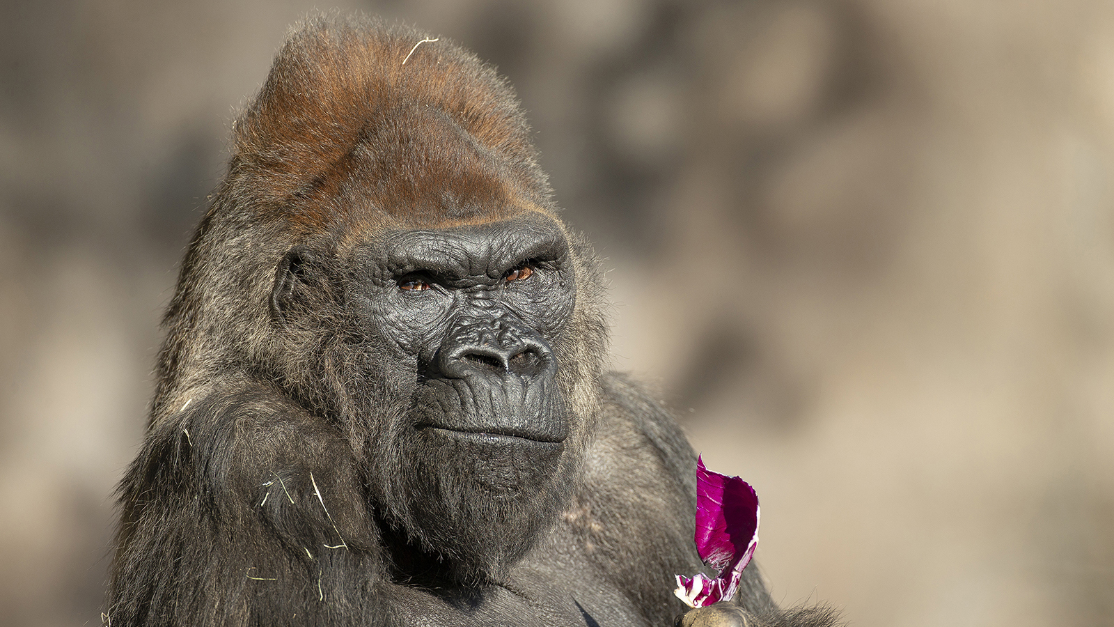 Gorillas at the San Diego Zoo made a full recovery from Covid-19